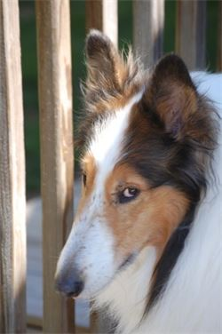 angus rough collie dog boone nc