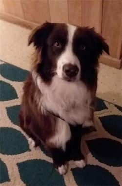Australian shepherd in boone nc - woof pack pet services dog boarding and daycare