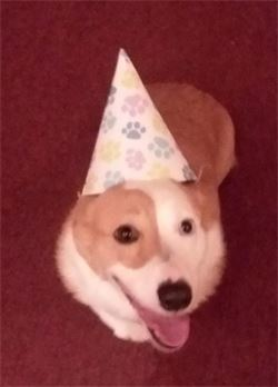 dog with party hat on for his birthday - boone nc