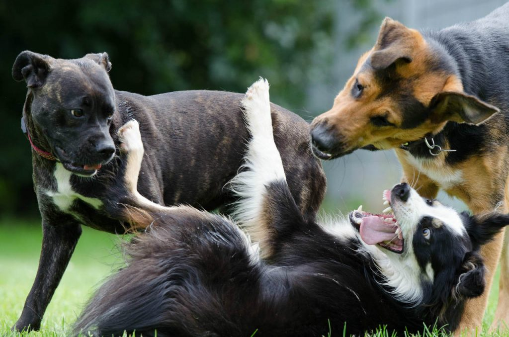 boone nc doggy daycare by woof pack pet services - pack of dogs playing