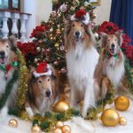 collie rescue of the carolinas