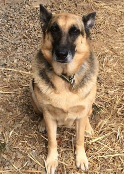 german shepherd named greta at woof pack pet services in boone nc