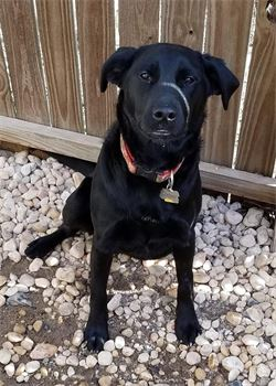 black lab named cooper in boone north carolina at doggie daycare facility