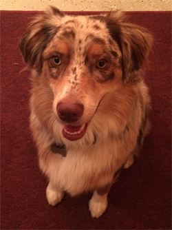 australian shepherd named rusty in boone nc dog day care