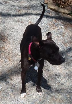 black mixed breed dog named gracie in boone north carolina