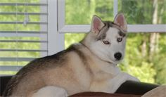 female siberian husky in boone north carolina
