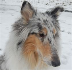 lilybelle rough collie boone nc