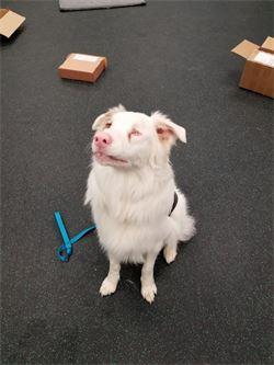 merlin blind deaf dog australian shepherd aussie boone nc