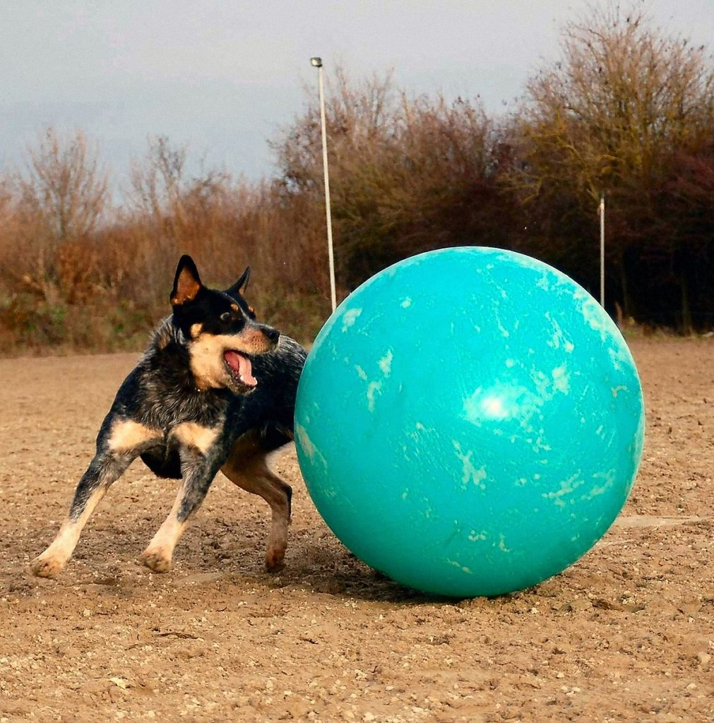dog training with huge ball - treiball