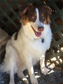 jasper the australian shepherd in boone nc dog daycare